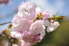 Cherry blossoms_21
