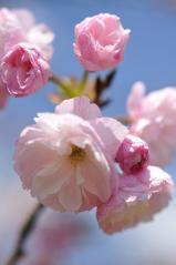 Cherry blossoms_28