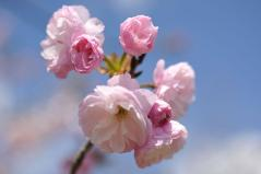 Cherry blossoms_22