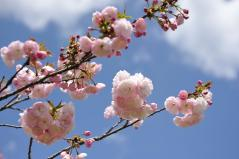Cherry blossoms_14