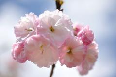 Cherry blossoms_23