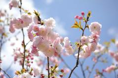 Cherry blossoms_15