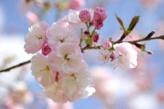 Cherry blossoms_24