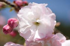 Cherry blossoms_25