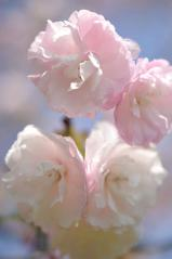 Cherry blossoms_26