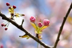 Cherry blossoms_16