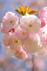 Cherry blossoms_27