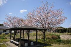 Cherry blossoms_12