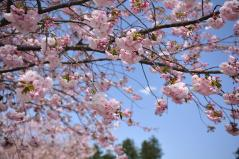 Cherry blossoms_17