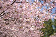 Cherry blossoms_18