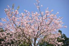 Cherry blossoms_19