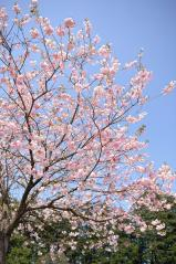 Cherry blossoms_20