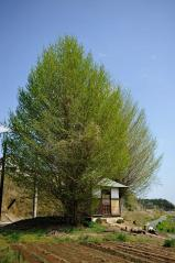 Big ginkgo trees_25