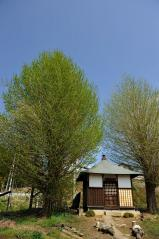 Big ginkgo trees_27