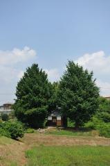 Big ginkgo trees_32