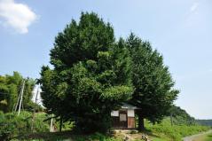 Big ginkgo trees_33