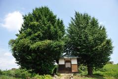 Big ginkgo trees_34