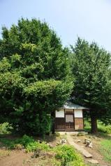 Big ginkgo trees_37