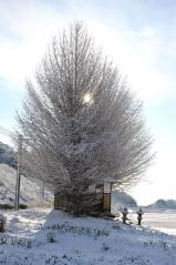 Big ginkgo trees_10