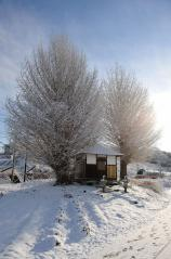 Big ginkgo trees_11