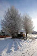 Big ginkgo trees_12