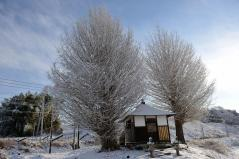 Big ginkgo trees_13