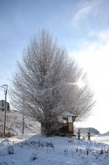 Big ginkgo trees_17