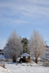 Big ginkgo trees_19