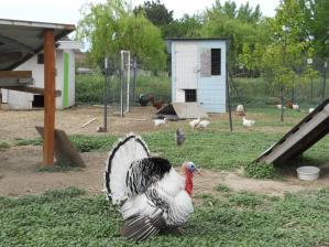 七面鳥/A turkey