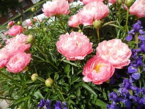親戚の庭のボタンとアイリス/Peonies and iris in the relative's garden