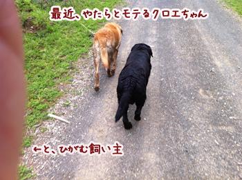 羊の国のラブラドール絵日記、近況報告2