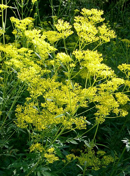 445px-Patrinia_scabiosifolia2.jpg