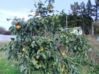 大きい柿の木