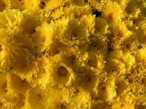 菊いっぱい