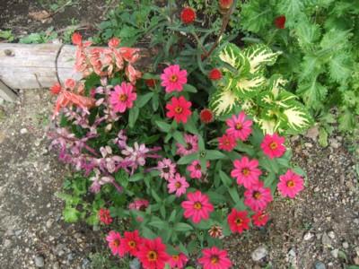 種からのお花1