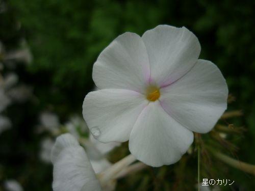 草夾竹桃4