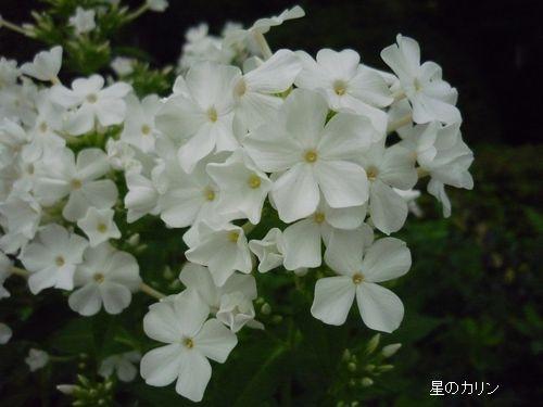 草夾竹桃2