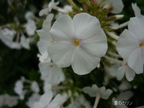 草夾竹桃3