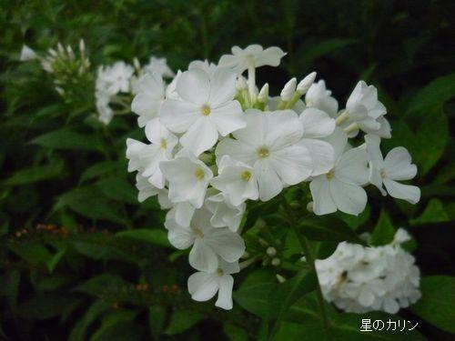 草夾竹桃1