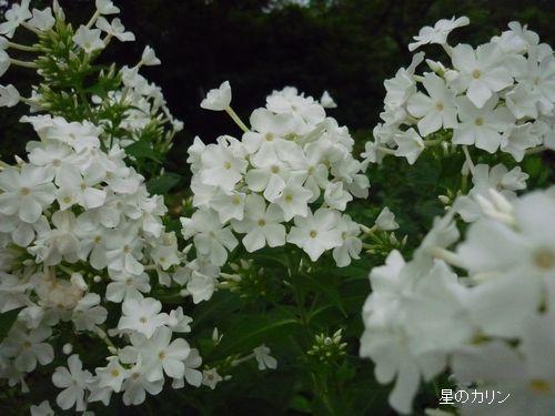 3草夾竹桃