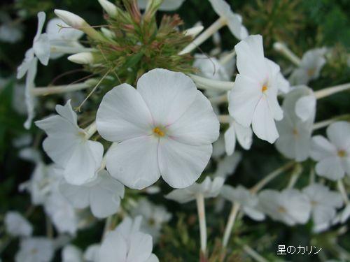 草夾竹桃5