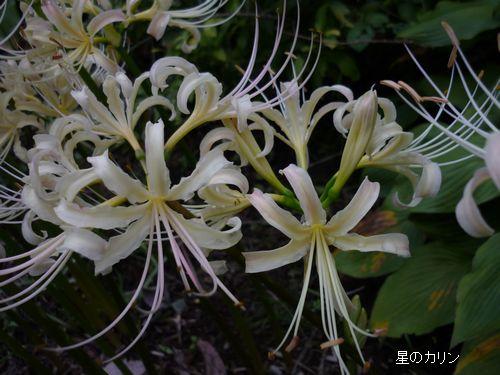 白花マンジュシャゲ4