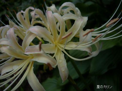 白花マンジュシャゲ3