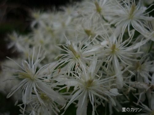 仙人草(せんにんそう)3