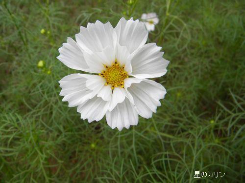 コスモス八重咲き2