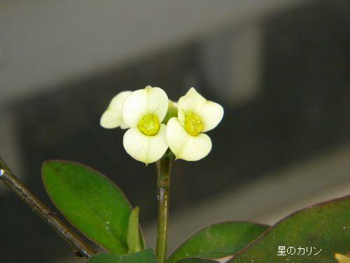 花キリン3