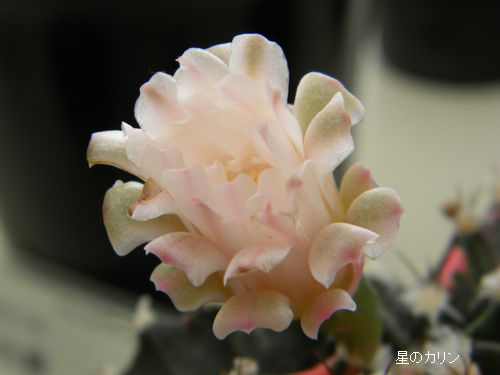 緋牡丹錦1