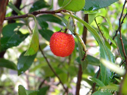 紅花イチゴの木の実1