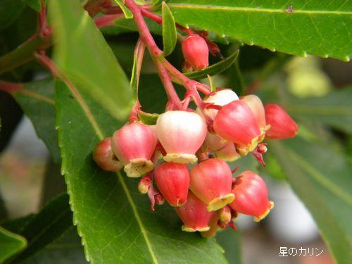 紅花イチゴの木2