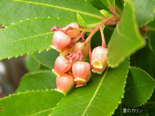 紅花イチゴの木1
